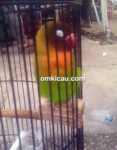 Lovebird Bahdit