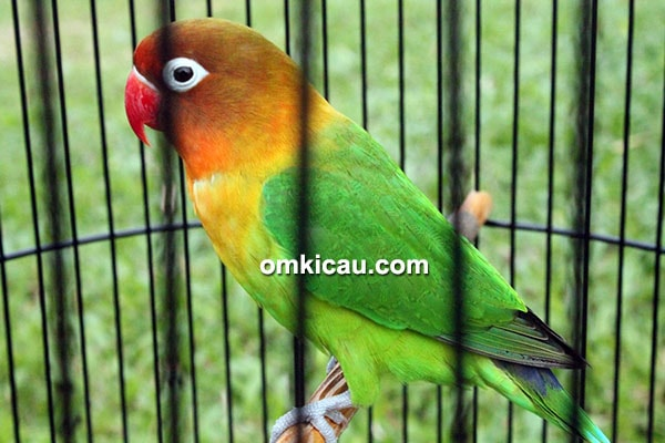 Lovebird Fretty