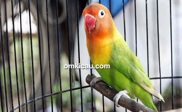 Lovebird Nikita