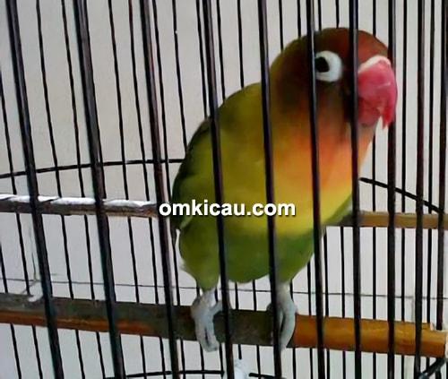 Lovebird Putri Gedek