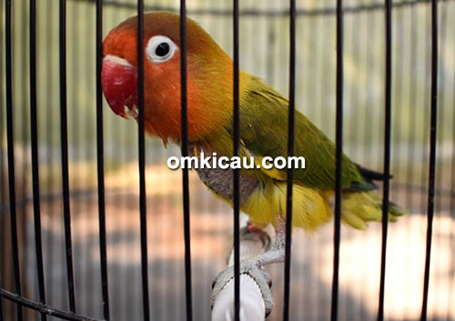 Lovebird Rhessex