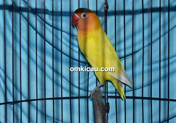 Lovebird Saleha