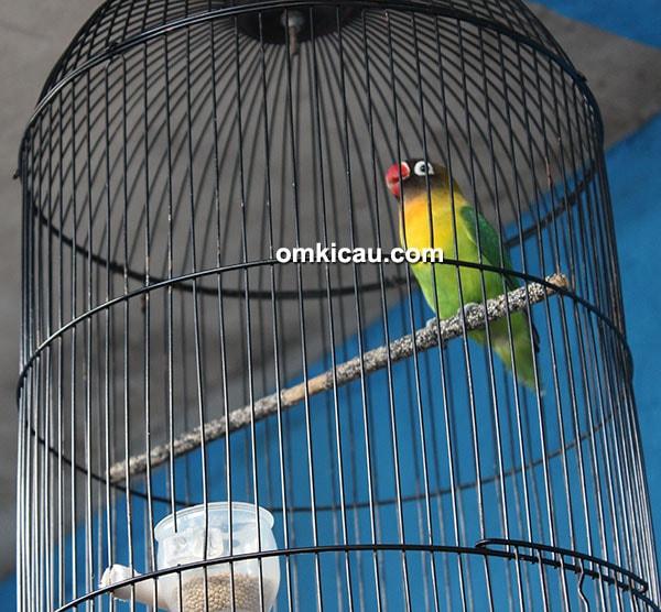Lovebird Lieur