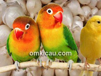 Cara mengolah bawang putih untuk lovebird dan kenari