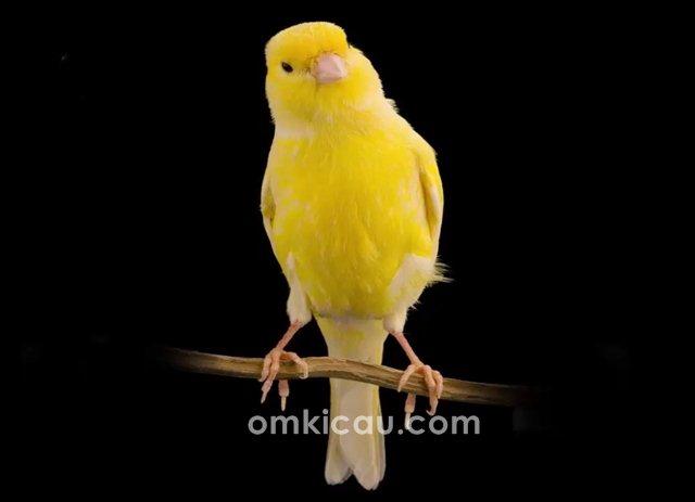 suara burung kenari waterslager untuk masteran