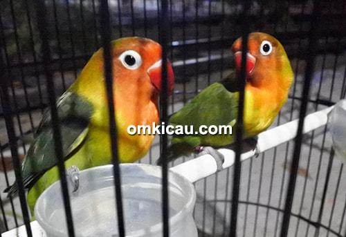 lovebird Bisma