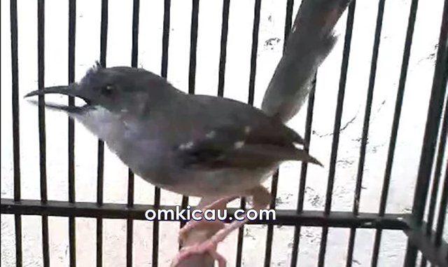 Burung ciblek memiliki suara ttembakan yang keras