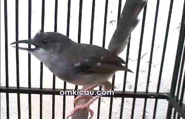meningkatkan volume suara burung ciblek