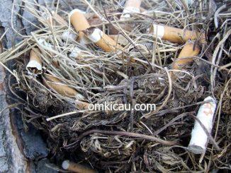 Sarang burung yang berisi puntung rokok