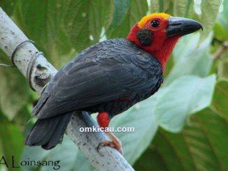 Tiong-batu kalimantan, burung unik yang terancam punah