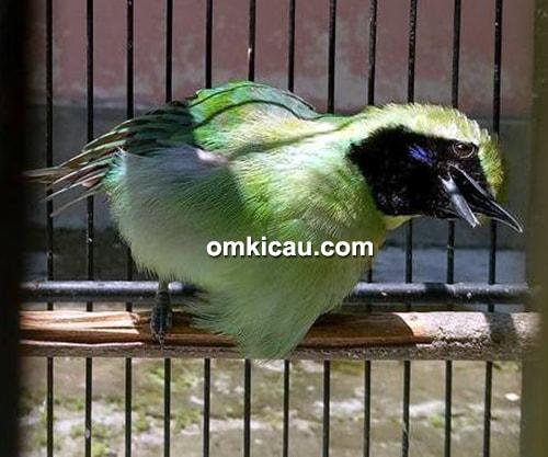 cara merawat burung cucak ijo