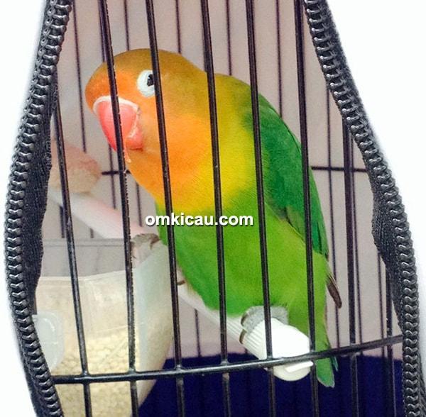 Lovebird Bayi Tabung