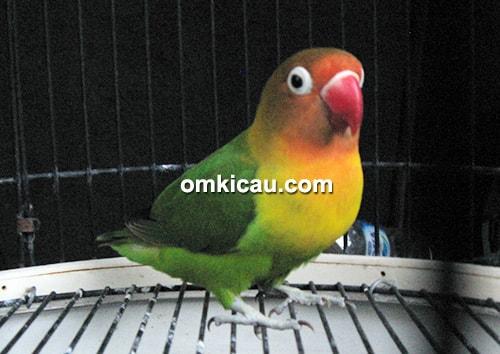 lovebird Jenggo