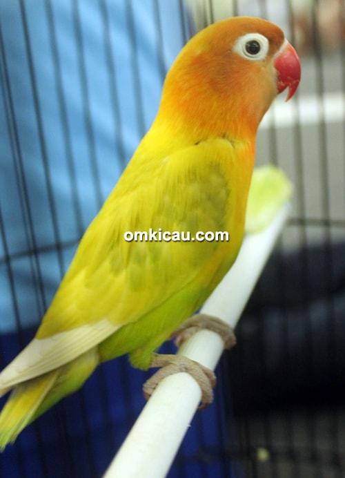 Lovebird Kagum