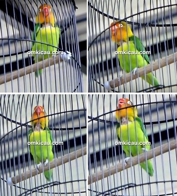 Lovebird Kiranty