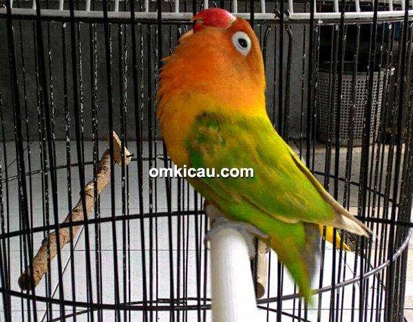 lovebird Loli