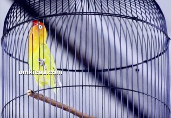 Lovebird Puyer
