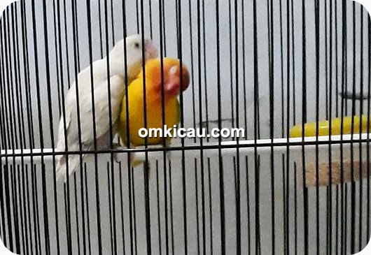 Lovebird Sizuka