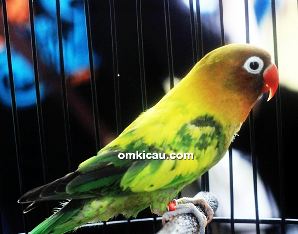 Lovebird Xena