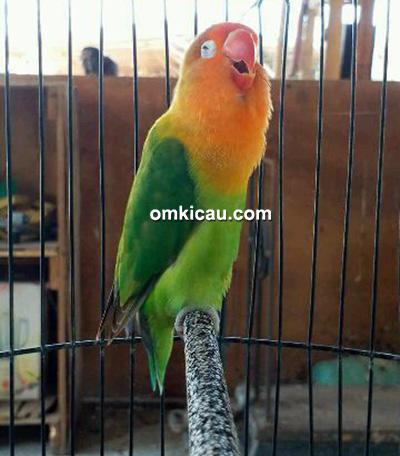 Lovebird Zahra