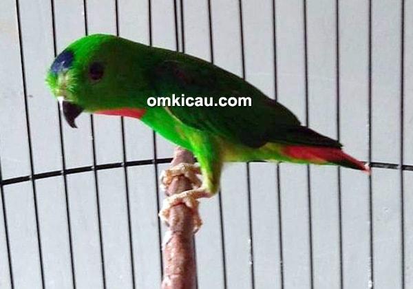 Tips perawatan burung serindit