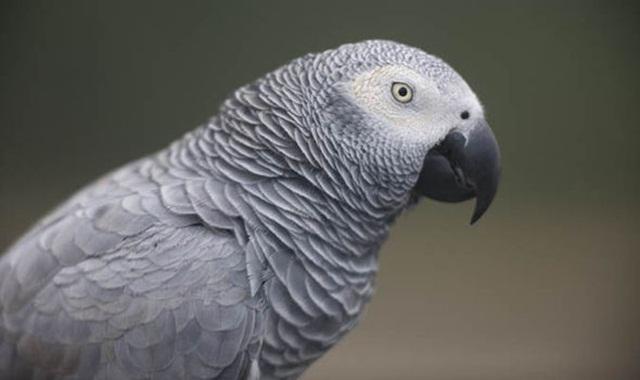 burung parrot-African grey parrot