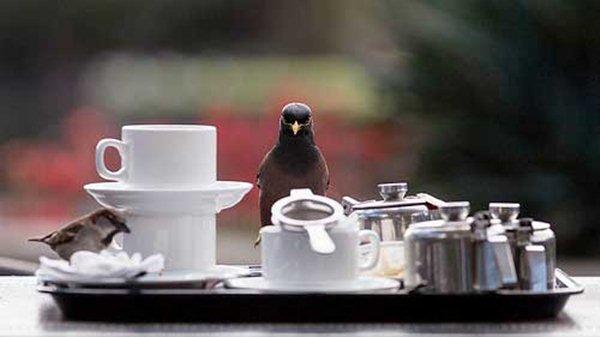 Air minum yang mengandung kafein tidak baik untuk burung