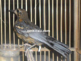 Burung anis merah trotolan