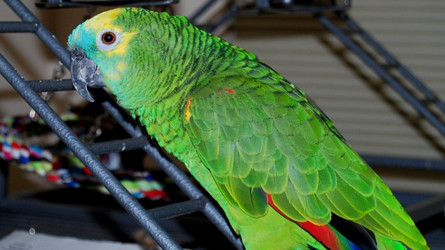 burung parrot-Blue-fronted amazon