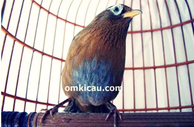 merawat burung hwamei bakalan