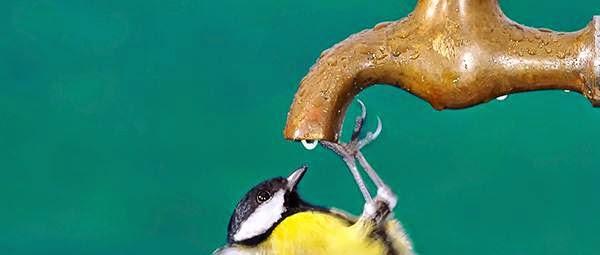Air keran mengandung chlorin yang bisa mengganggu organ pencernaan burung