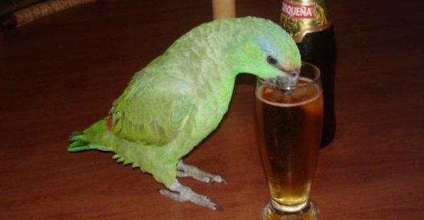 Burung tidak dianjurkan mengkonsumsi air soda, energi dan alkohol