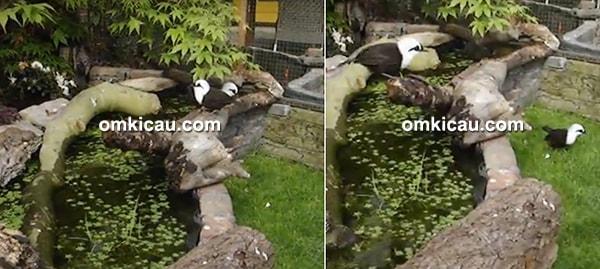 cara ternak burung poksay sumatera
