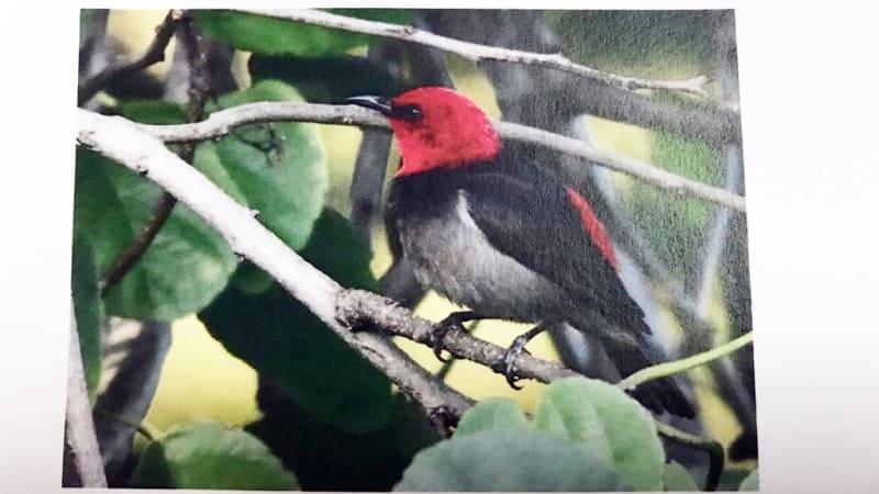 burung iriana