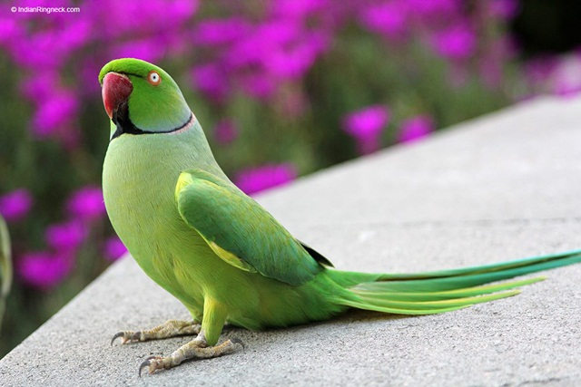 burung parrot-Indian ring parakeets