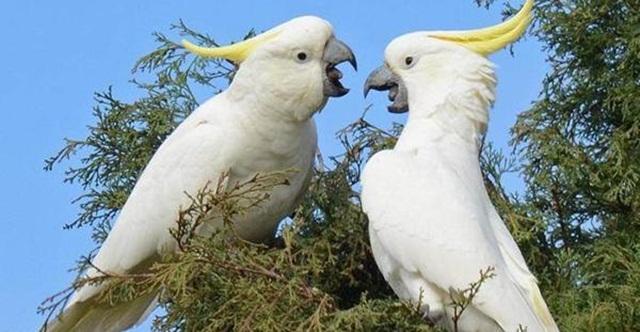 burung parrot-Kakatua