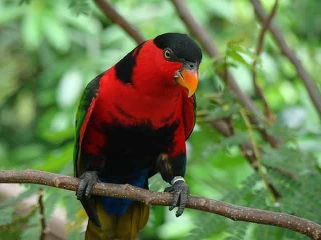 burung parrot-Kasturi kepala hitam