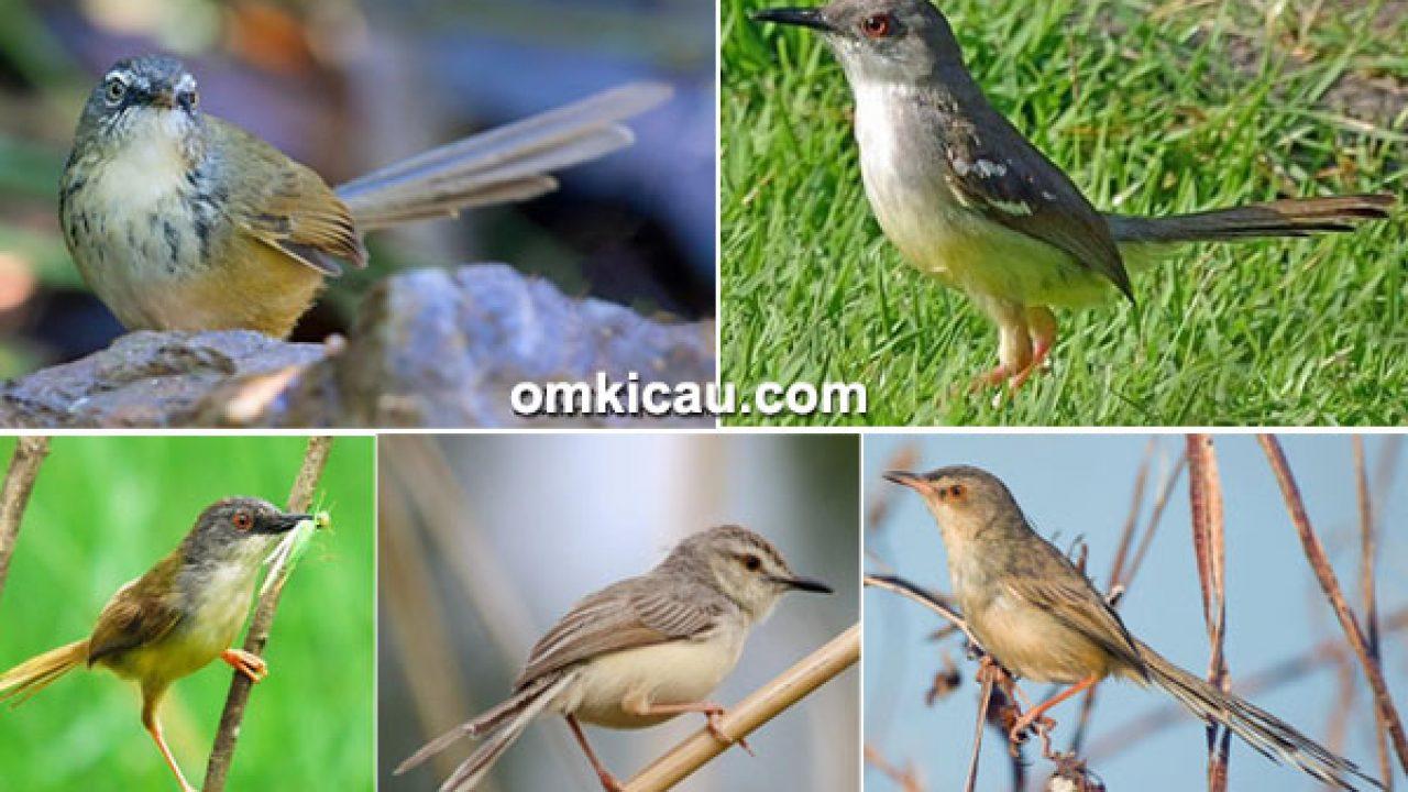 Mengenal Lima Jenis Burung Ciblek Download Suara Aslinya Untuk