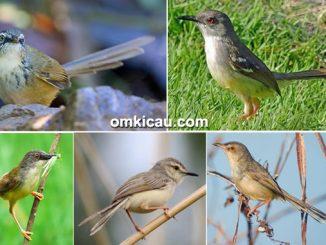 lima jenis burung ciblek