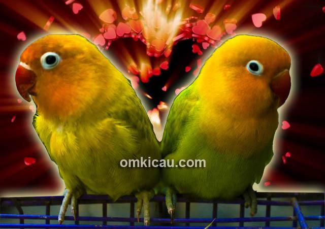 mengatasi induk lovebird yang tak kunjung kawin