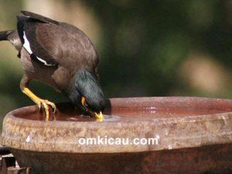 Tips memberikan air minum yang baik untuk burung piaraan