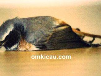 Burung piaraan mudah ngedrop karena kurang minum