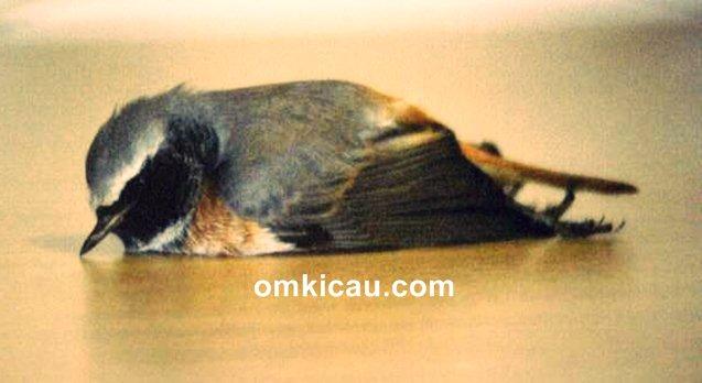 cara menangani burung ngedrop akibat kehabisan air minum