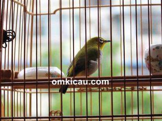 Mengatasi burung pleci yang mogok bunyi