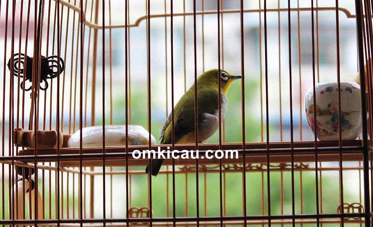Cara mengatasi burung pleci mogok bunyi