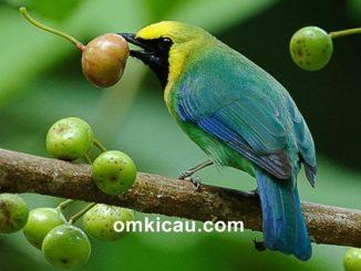 Burung cica-daun sayap-biru atau cucak ranting