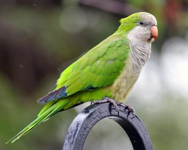 burung parrot-Monk parakeets