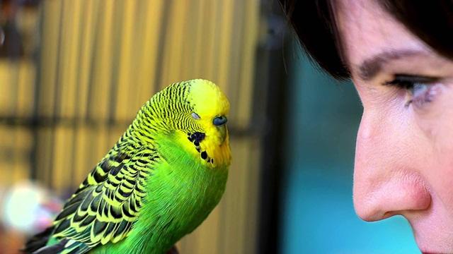 burung parrot-burung parkit
