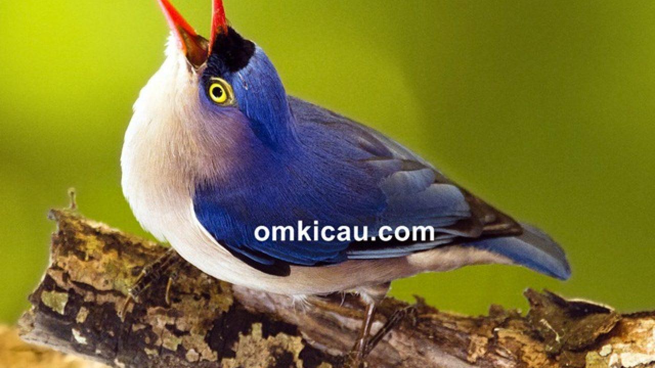 Cara Merawat Burung Rambatan Agar Menjadi Masteran Joss Om Kicau