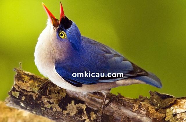 Cara merawat burung rambatan
